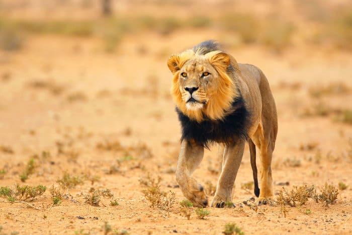Black-maned lion in the Kalahari desert, South Africa