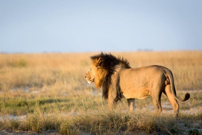 Black-maned lion in open bushveld