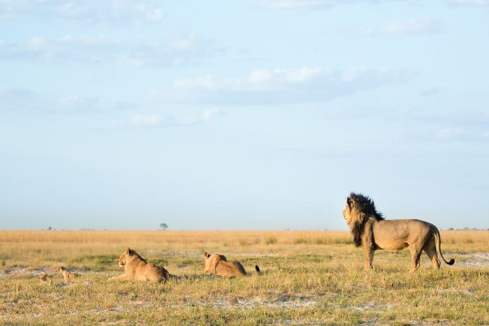 Black-maned lion and family on the open plains