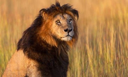 Black-maned lion: strong or scary by nature?