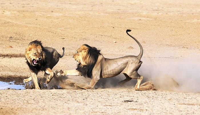 A large, dark black mane helps in a fight against another lion