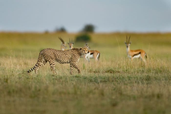 A lone cheetah passes by four Thomson's gazelle on the alert