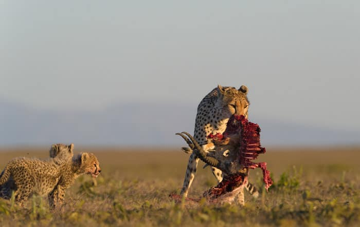 Cheetah cubs and their mom, with remains of a fresh kill in her jaws