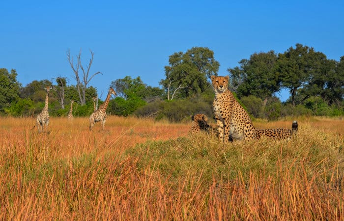 Cheetah scanning the horizon for prey, with curious giraffes in the background