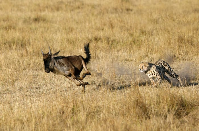 Cheetah chases a young wildebeest in the Masai Mara, Kenya