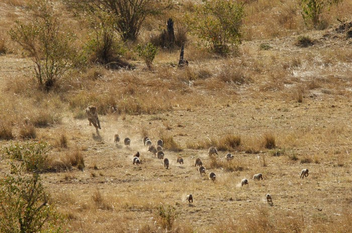 Cheetah chasing a family of banded mongoose, probably for fun