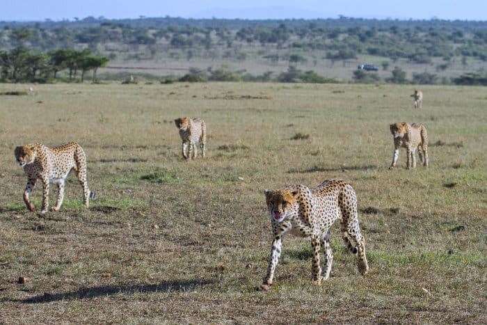 Brother coalition of five cheetah on the move