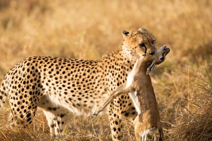 Cheetah with baby Thomson's gazelle kill
