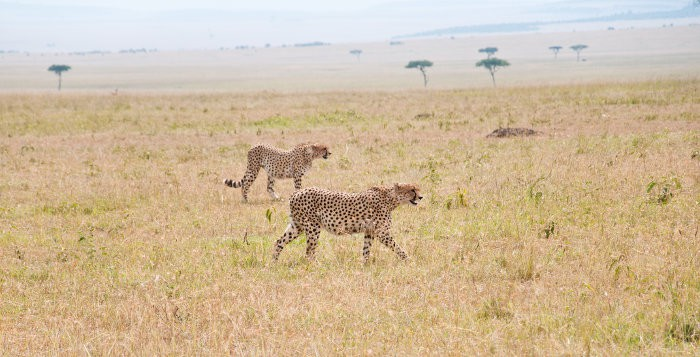 Two cheetahs on the African savanna in Kenya