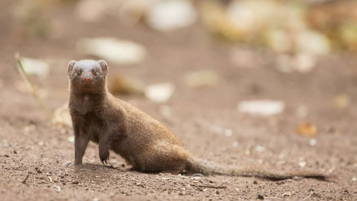 The common dwarf mongoose is Africa's smallest carnivore