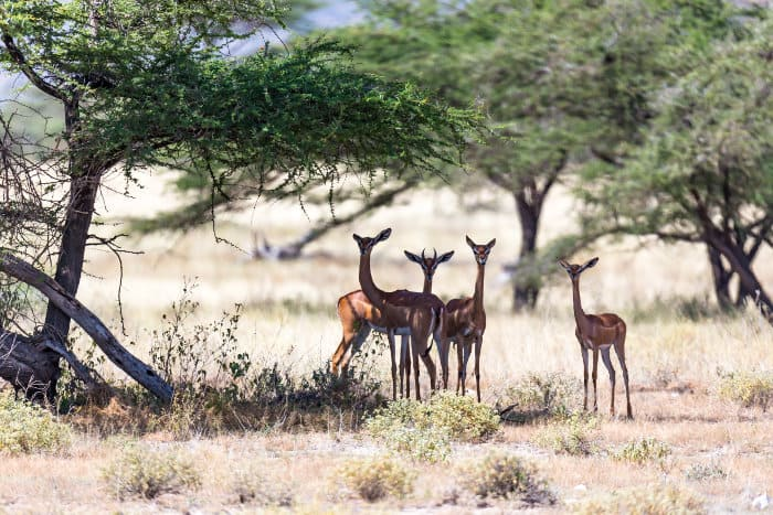 Four gerenuk resting in the shade of an acacia tree