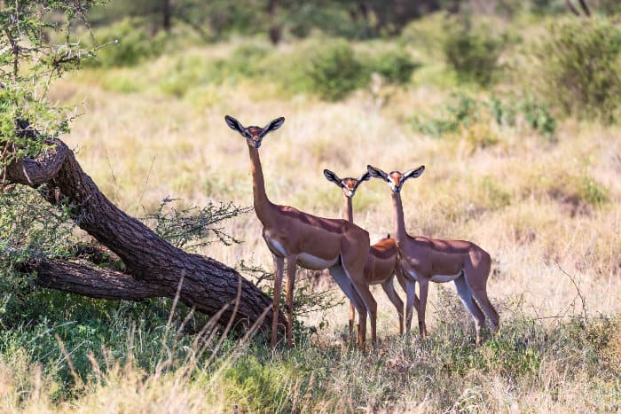 Female gerenuk and two youngsters standing still, all facing in the same direction
