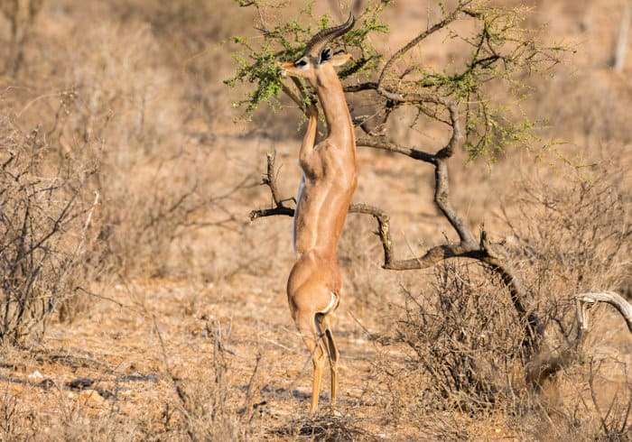 Male gerenuk standing on its hind legs to munch on high up foliage