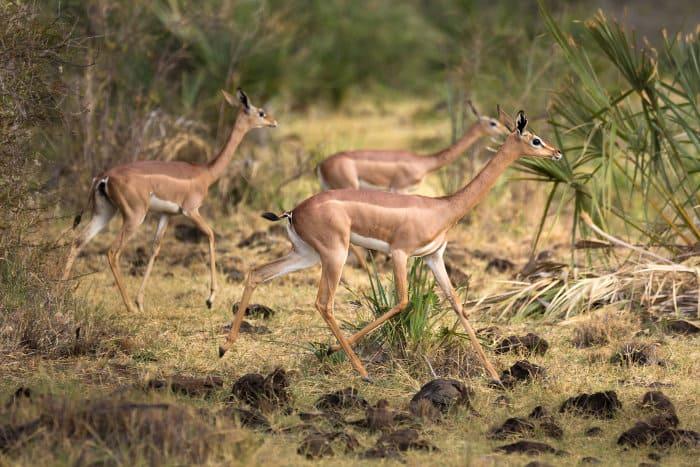 Three female gerenuk running away in the African bush