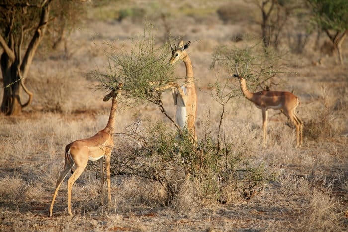 The gerenuk is not water-dependent as it finds most of the moisture it needs in the food it consumes