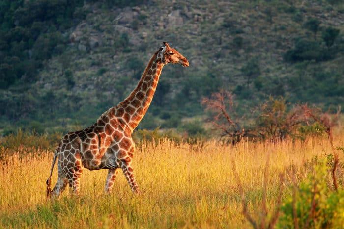 Lone giraffe in Pilanesberg Game Reserve