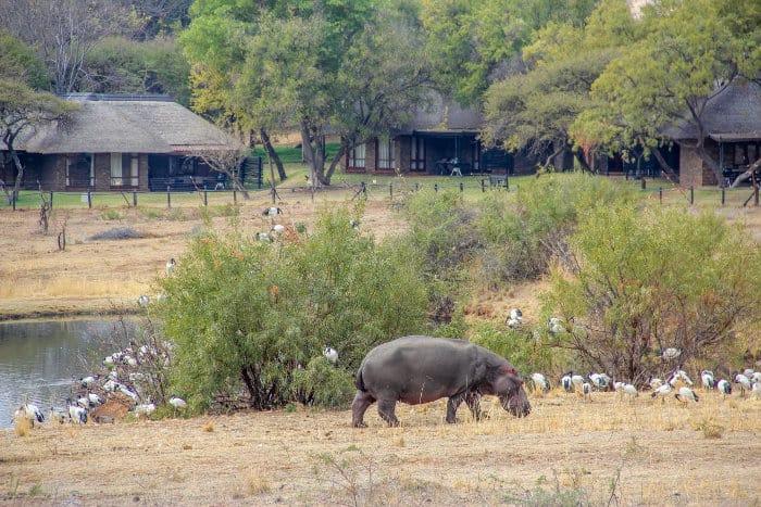 A resident hippo near Bakubung Bush Lodge
