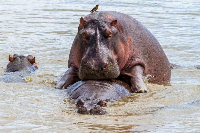 Hippos mating in the Serengeti National Park, Tanzania