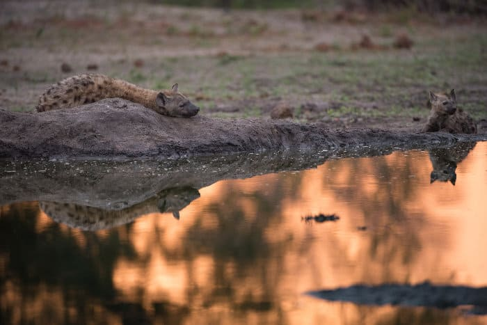 Spotted hyena resting by a glowing waterhole at sunset, Sabi Sand