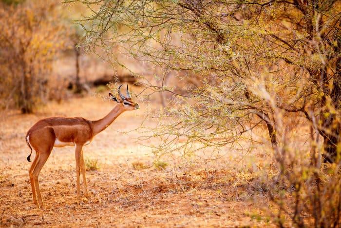 Male gerenuk eating some acacia leaves, Samburu