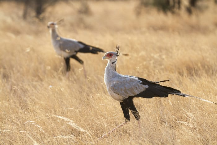 A pair of secretary birds walking on the African plains