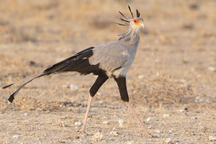 Lone secretary bird in Etosha National Park