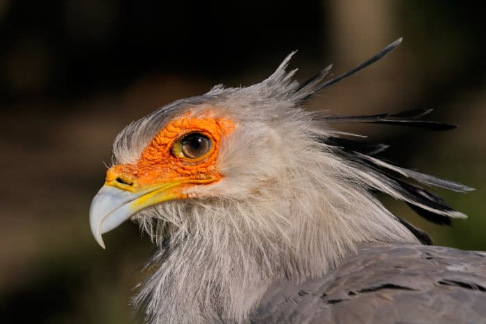 Close up view of a secretary bird, with its impressive eyelashes