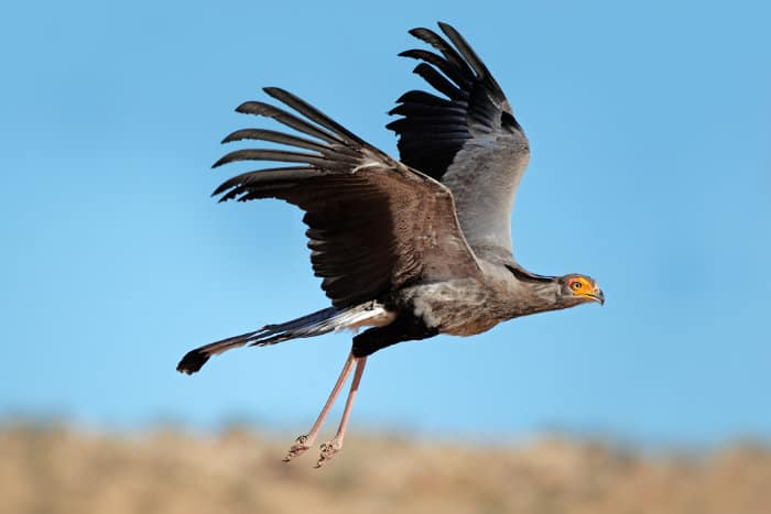 Secretary bird flapping its wing, in flying mode