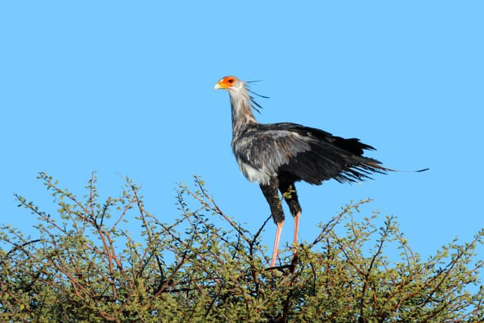 Secretary bird perched on top of a tree in the Kalahari