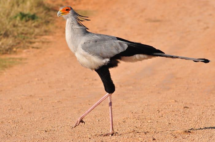 The secretary bird has elegant long legs and powerful stomping feet