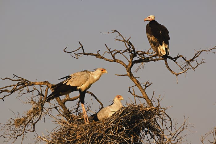 Two secretary birds in their nest, with a white-headed vulture perched nearby