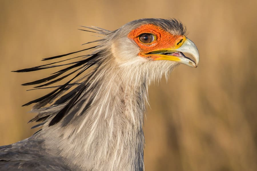 Secretary bird facts: the crowned feathered creature of Africa