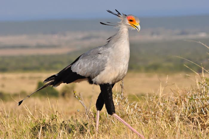 "The ""archer of snakes"" in hunting mode - secretary bird"
