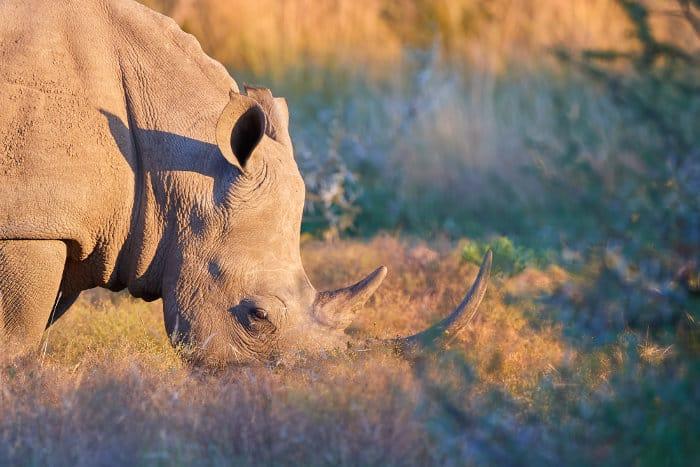 White rhinoceros grazing in the Pilanesberg Game Reserve