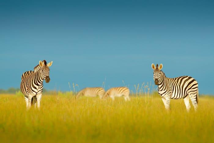 Four Burchell's zebra in Nxai Pan National Park
