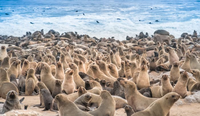 Cape Cross has the largest breeding colony of Cape fur seals in the world