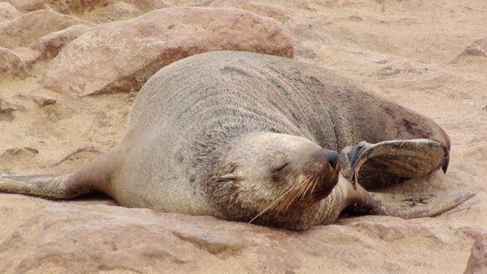 Fully grown Cape fur seal at Cape Cross