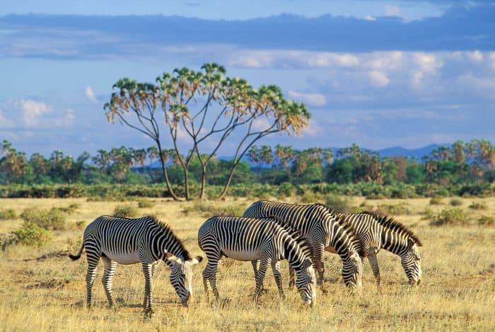 Grevy's zebra feeding on short grass in the Samburu National Reserve