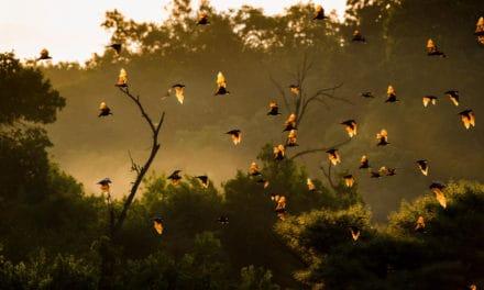 Kasanka National Park: fruit bat migration & African beauty