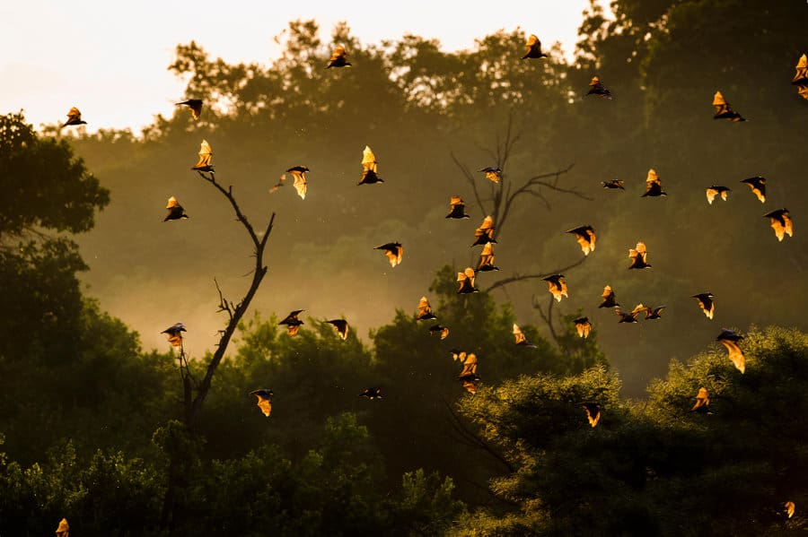 Kasanka National Park: fruit bat migration & African beauty