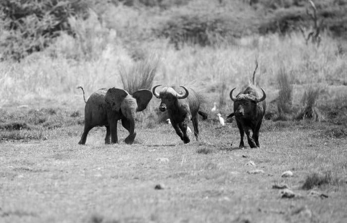 Baby elephant in playful mood, chasing away some Cape buffalo