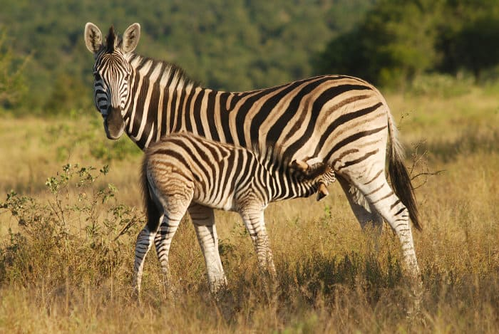 Baby zebra drinking milk from its mother