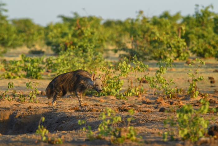 Brown hyena in Etosha National Park, Namibia