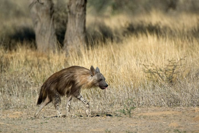 Brown hyena in the Kgalagadi Transfrontier Park