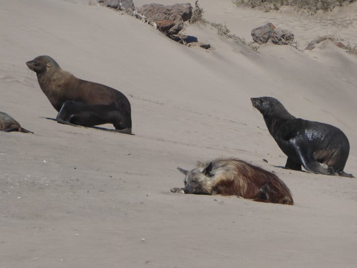 Lone brown hyena sleeping amongst seals in Sperrgebiet National Park, Namibia