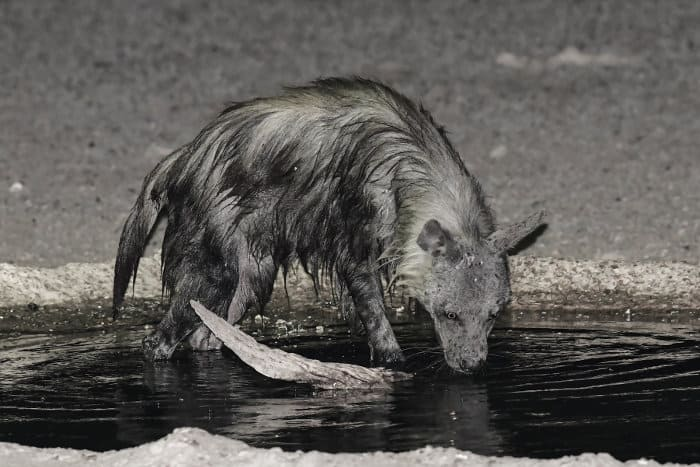 brown hyena at night, drinking at a local watering hole