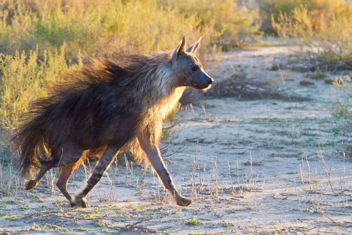 Brown hyena running, in the Kalahari desert