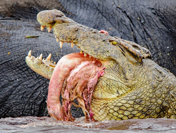 Large crocodile feeding off an elephant carcass, with chunks of meat and guts hanging out of its mouth