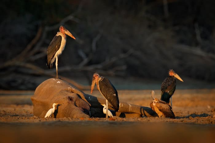 Three marabou storks, egrets and a vulture next to an elephant carcass, Mana Pools National Park