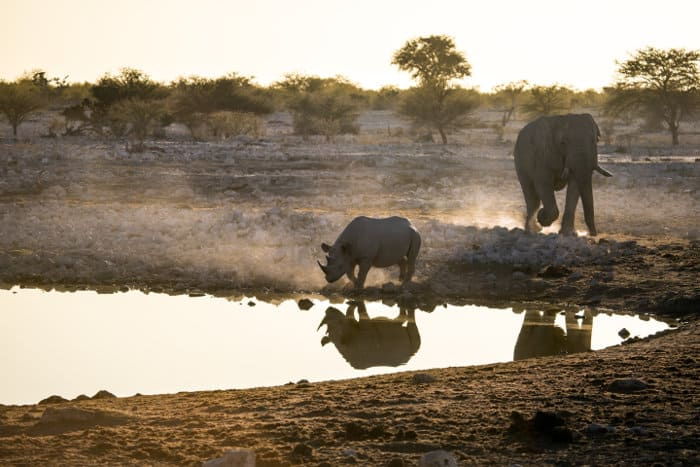 Elephant and black rhino at Okaukuejo waterhole in Etosha
